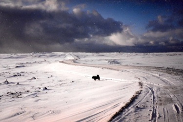 A dog walks in the snow in Puvirnituq in December, 1995. (PHOTO BY JANE GEORGE)