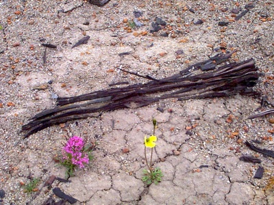 Ancient fossil wood, a remnant of forests which once grew here on Axel Heiberg. (PHOTO BY JANE GEORGE)