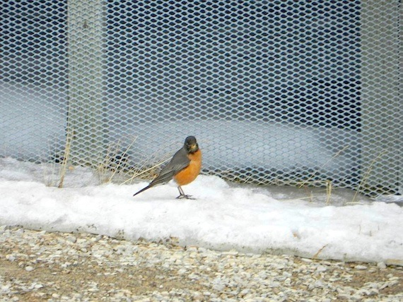 You can even find a robin in Cambridge Bay, Nunavut. (PHOTO/ NUNATSIAQ NEWS)