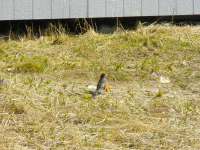 A robin in Kuujjuaq where the grass is turning green in early June. (PHOTO BY JANE GEORGE)