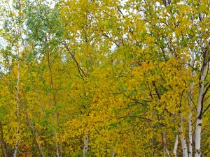 The birch trees turn a bright yellow colour at this time of year, reminding me of Finland. (PHOTO BY JANE GEORGE)